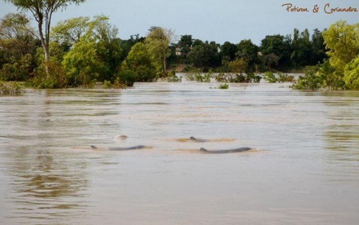 dauphins irrawaddy